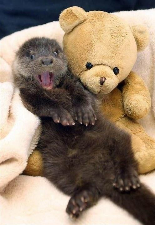 Baby otter with a teddy bear. With a teddy bear!