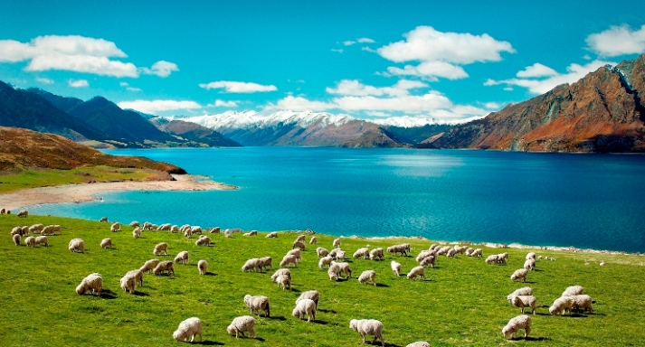 2_sheep_new_zealand.jpg