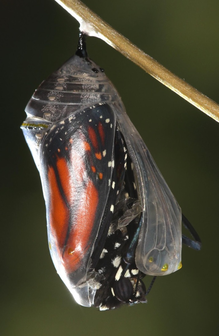 Chrysalis Emerging 3