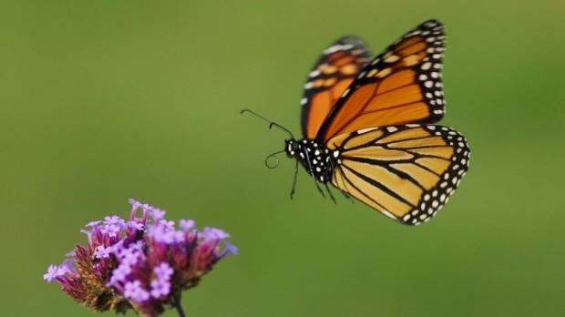 monarch-in-flight-1024x576