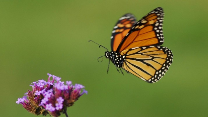 monarch-in-flight-1024x576