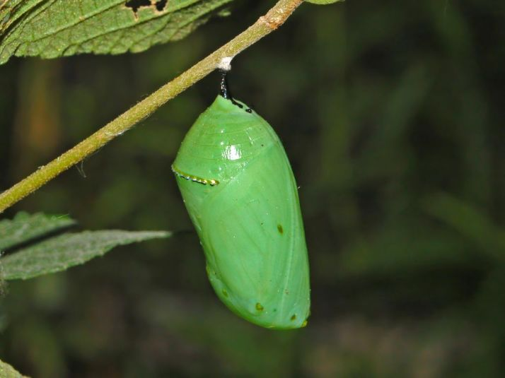 Nymphalidae_-_Danaus_plexippus_Chrysalis