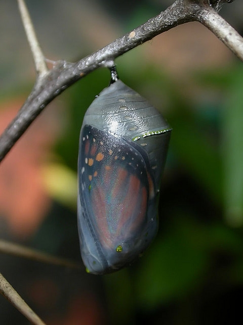 The-Monarch-Butterfly-Chrysalis1