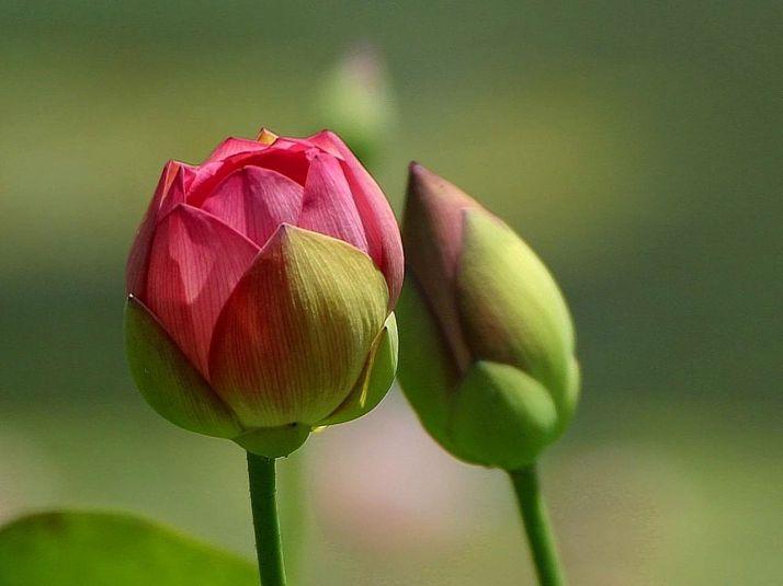 Flowers_buds